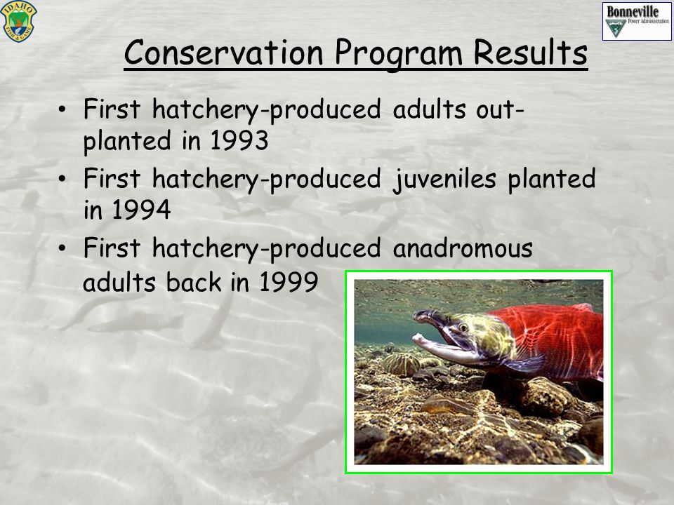 First hatchery-produced adults out- planted in 1993 First hatchery-produced juveniles planted in 1994 First hatchery-produced anadromous adults back i