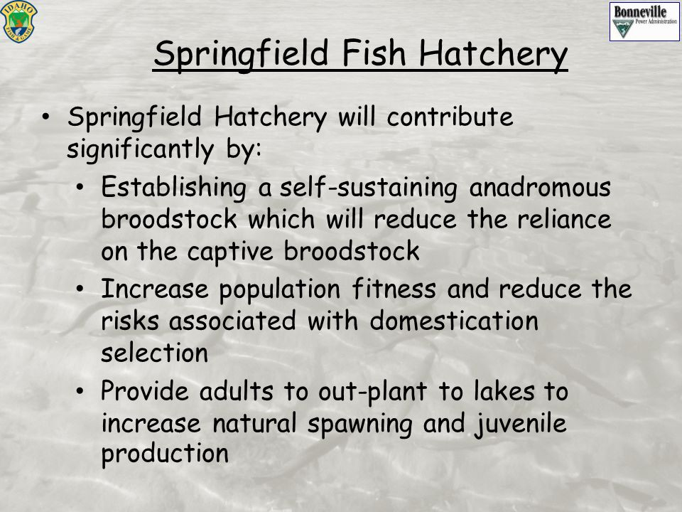 Springfield Hatchery will contribute significantly by: Establishing a self-sustaining anadromous broodstock which will reduce the reliance on the capt