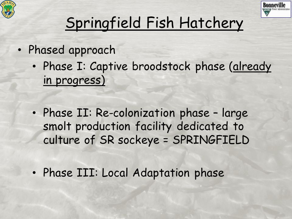 Phased approach Phase I: Captive broodstock phase (already in progress) Phase II: Re-colonization phase – large smolt production facility dedicated to culture of SR sockeye = SPRINGFIELD Phase III: Local Adaptation phase Springfield Fish Hatchery