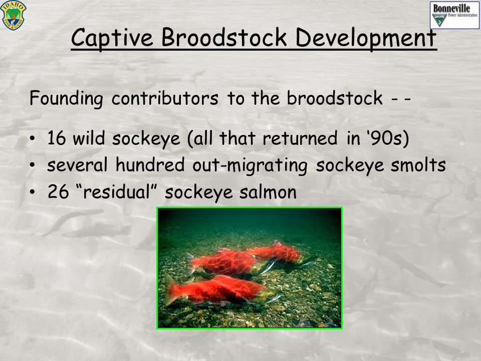 Captive Broodstock Development Founding contributors to the broodstock - - 16 wild sockeye (all that returned in '90s) several hundred out-migrating sockeye smolts 26 residual sockeye salmon