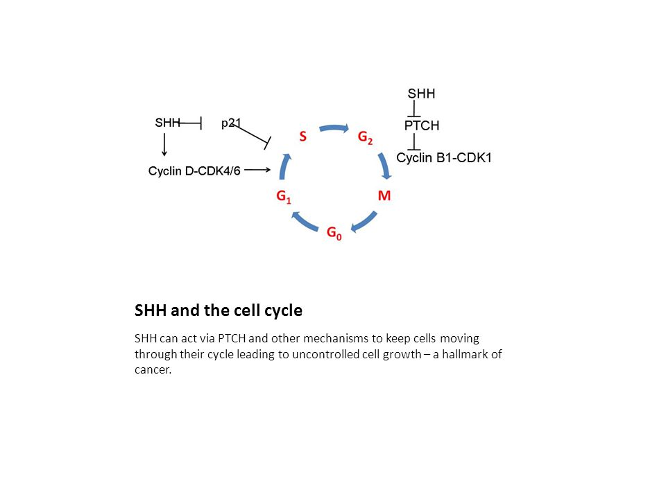 SHH and the cell cycle SHH can act via PTCH and other mechanisms to keep cells moving through their cycle leading to uncontrolled cell growth – a hallmark of cancer.