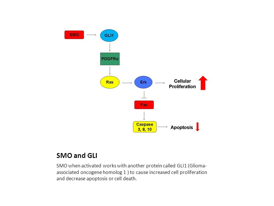 SMO and GLI SMO when activated works with another protein called GLI1 (Glioma- associated oncogene homolog 1 ) to cause increased cell proliferation and decrease apoptosis or cell death.