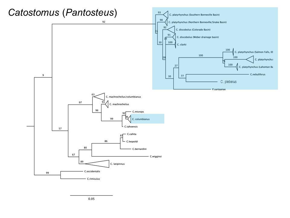 C. plebeius Catostomus (Pantosteus)
