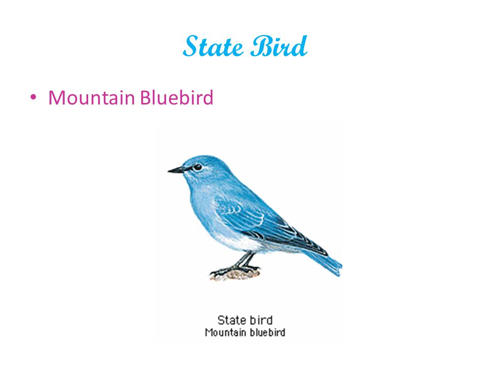 State Bird Mountain Bluebird