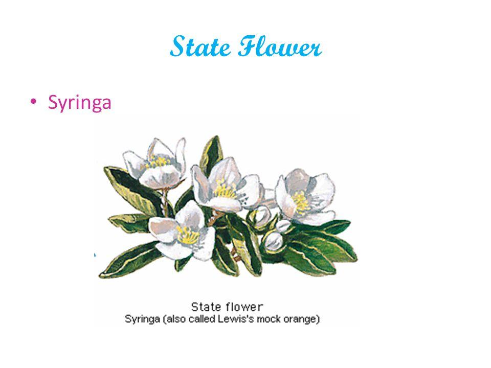 State Flower Syringa