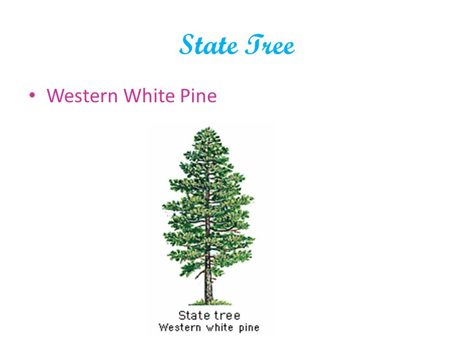 State Tree Western White Pine