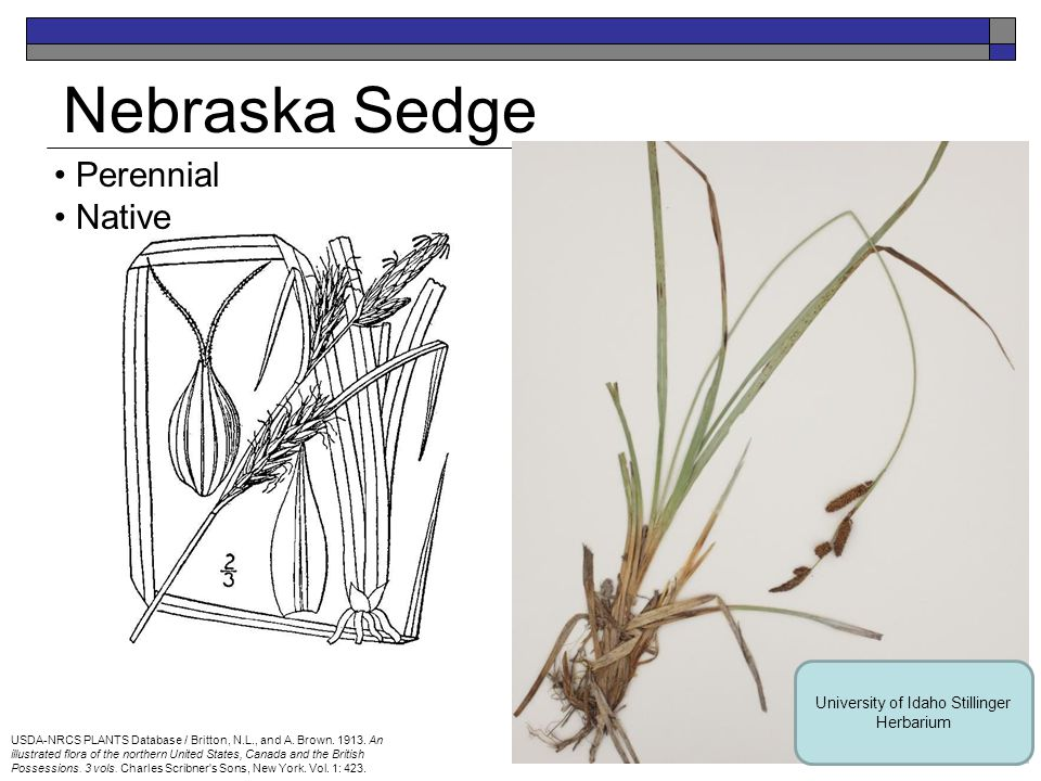 Nebraska Sedge Perennial Native USDA-NRCS PLANTS Database / Britton, N.L., and A.