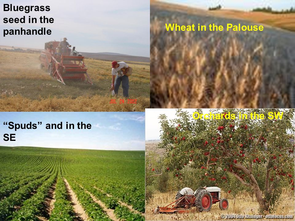 "Bluegrass seed in the panhandle Wheat in the Palouse ""Spuds"" and in the SE Orchards in the SW"
