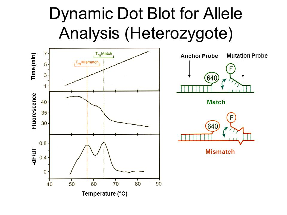 Time (min) Temperature (°C) Dynamic Dot Blot for Allele Analysis (Heterozygote) Anchor Probe Mutation Probe Match Mismatch Fluorescence Temperature (°C) -dF/dT