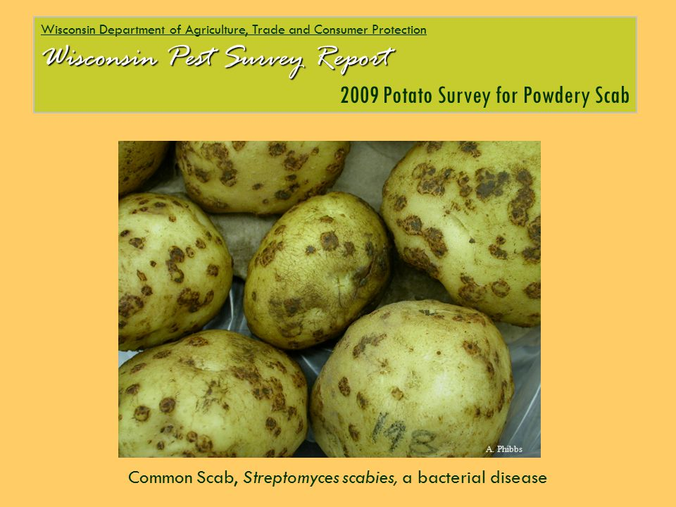 Common Scab, Streptomyces scabies, a bacterial disease Wisconsin Department of Agriculture, Trade and Consumer Protection Wisconsin Pest Survey Report 2009 Potato Survey for Powdery Scab A.