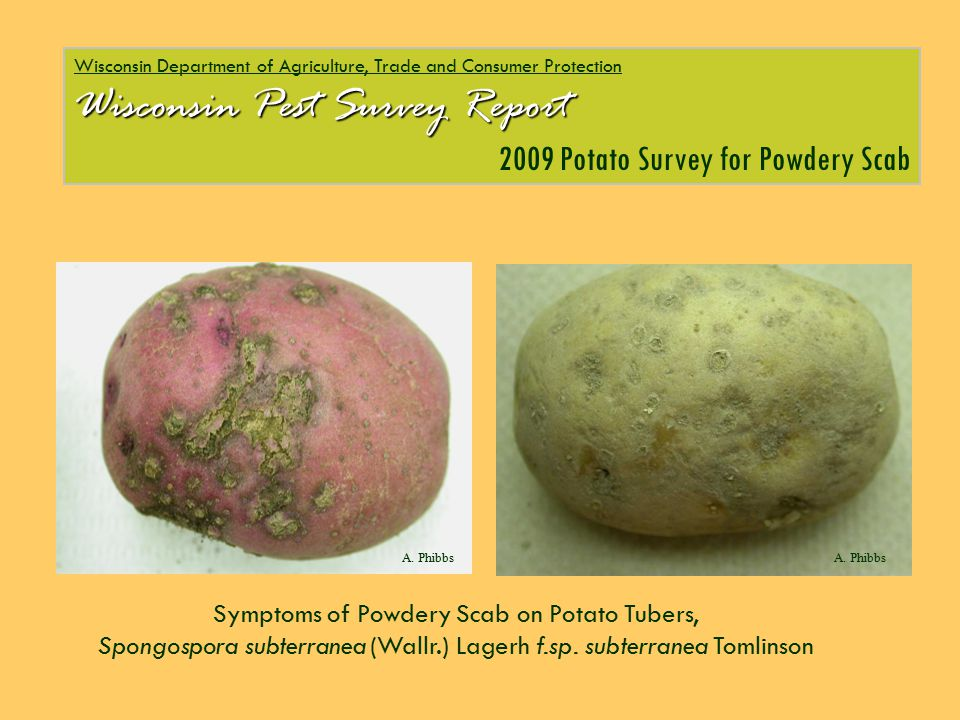 Symptoms of Powdery Scab on Potato Tubers, Spongospora subterranea (Wallr.) Lagerh f.sp. subterranea Tomlinson DATCP Wisconsin Department of Agricultu