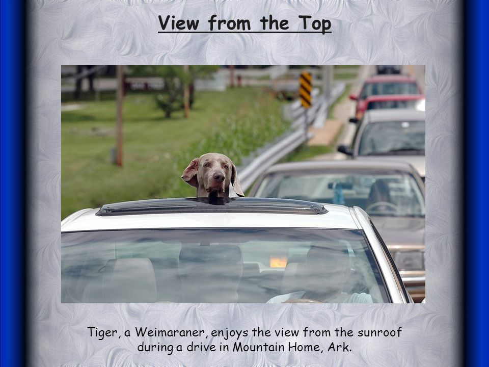 Tiger, a Weimaraner, enjoys the view from the sunroof during a drive in Mountain Home, Ark.