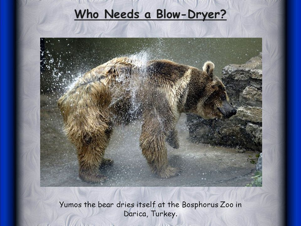 Yumos the bear dries itself at the Bosphorus Zoo in Darica, Turkey. Who Needs a Blow-Dryer?