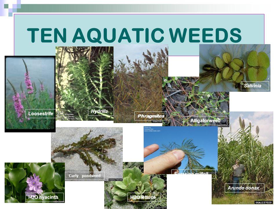 TEN AQUATIC WEEDS Hydrilla Phragmites Alligatorweed Loosestrife Salvinia H2O hyacinth Curly pondweed H2O lettuce Eurasian milfoil Arundo donax