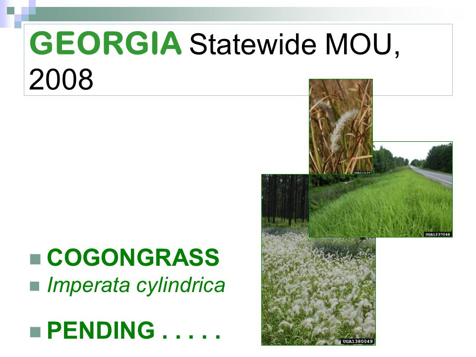 GEORGIA Statewide MOU, 2008 COGONGRASS Imperata cylindrica PENDING.....