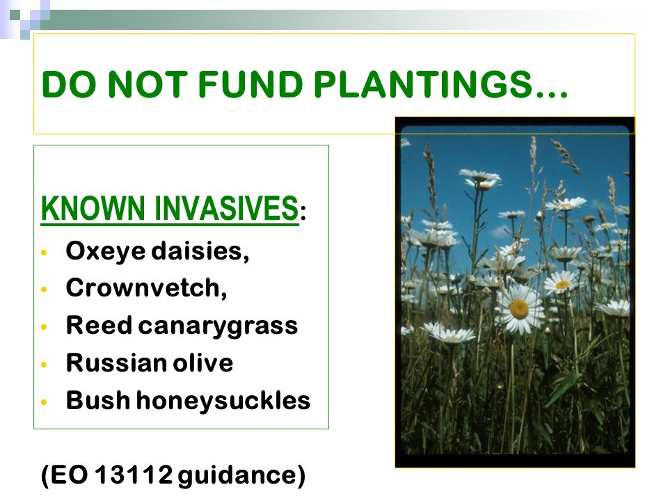 KNOWN INVASIVES : Oxeye daisies, Crownvetch, Reed canarygrass Russian olive Bush honeysuckles (EO 13112 guidance) DO NOT FUND PLANTINGS…