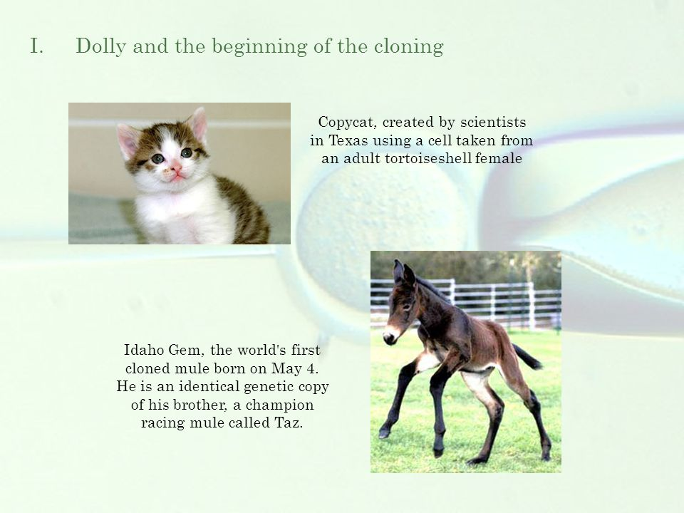 Copycat, created by scientists in Texas using a cell taken from an adult tortoiseshell female Idaho Gem, the world s first cloned mule born on May 4.
