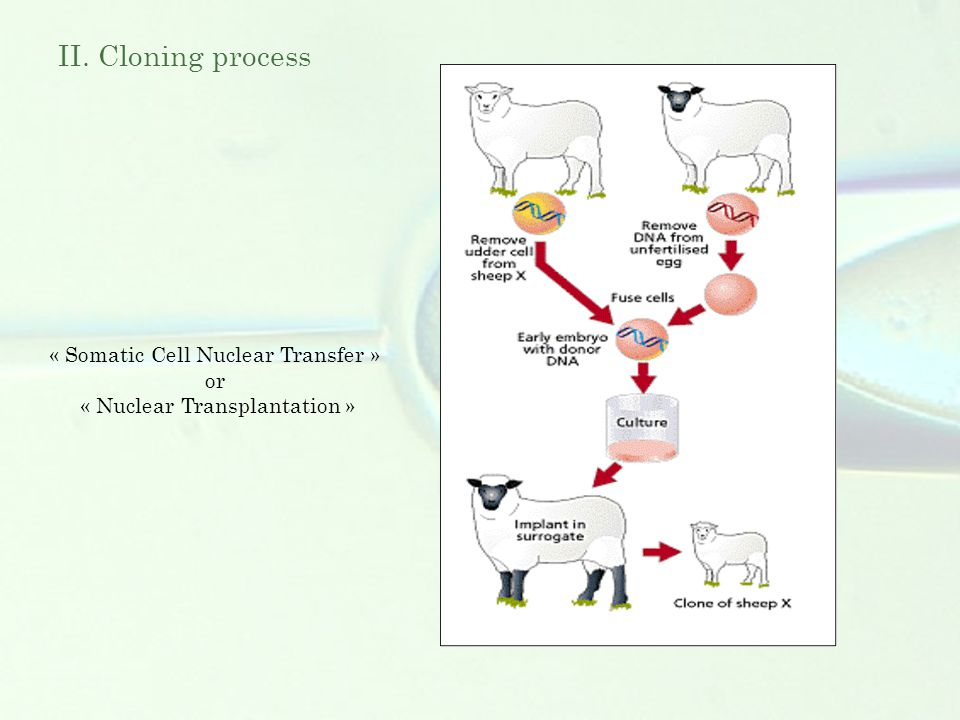 II. Cloning process « Somatic Cell Nuclear Transfer » or « Nuclear Transplantation »