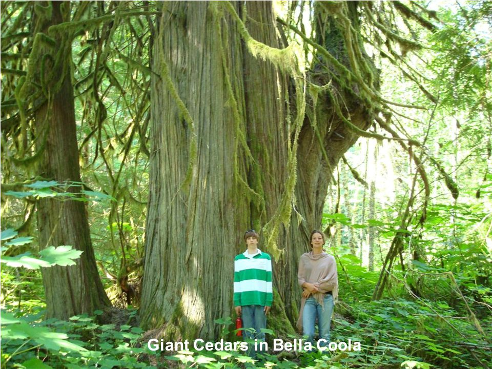 Giant Cedars in Bella Coola
