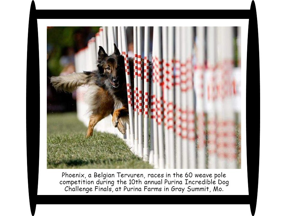 Phoenix, a Belgian Tervuren, races in the 60 weave pole competition during the 10th annual Purina Incredible Dog Challenge Finals, at Purina Farms in Gray Summit, Mo.
