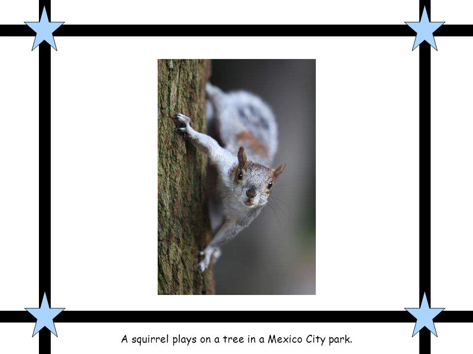 A squirrel plays on a tree in a Mexico City park.