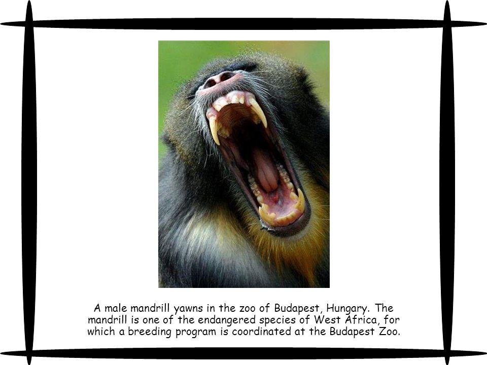 A male mandrill yawns in the zoo of Budapest, Hungary.