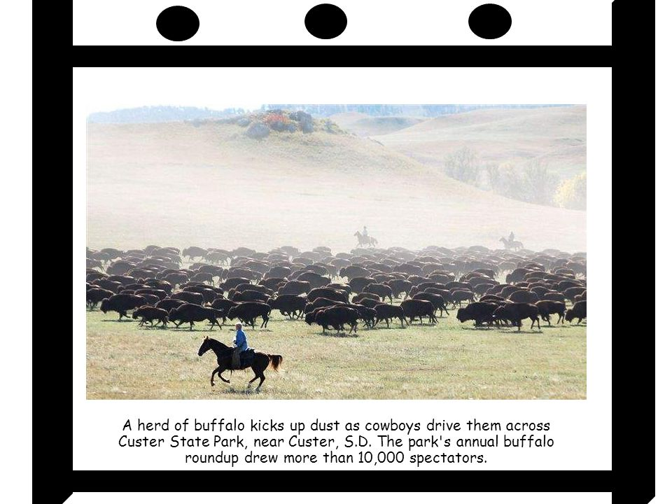 A herd of buffalo kicks up dust as cowboys drive them across Custer State Park, near Custer, S.D.
