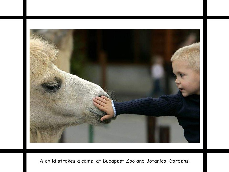 A child strokes a camel at Budapest Zoo and Botanical Gardens.