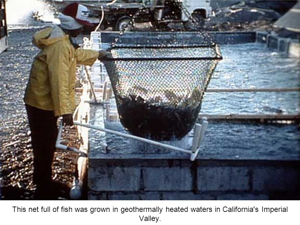 This net full of fish was grown in geothermally heated waters in California s Imperial Valley.