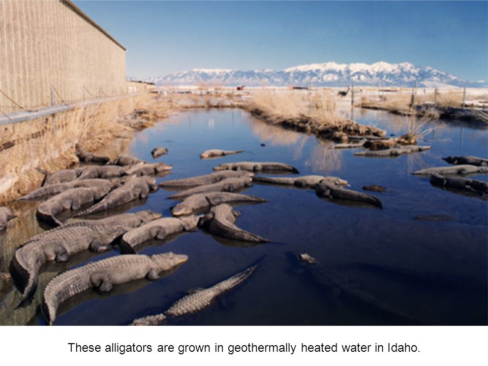 These alligators are grown in geothermally heated water in Idaho.