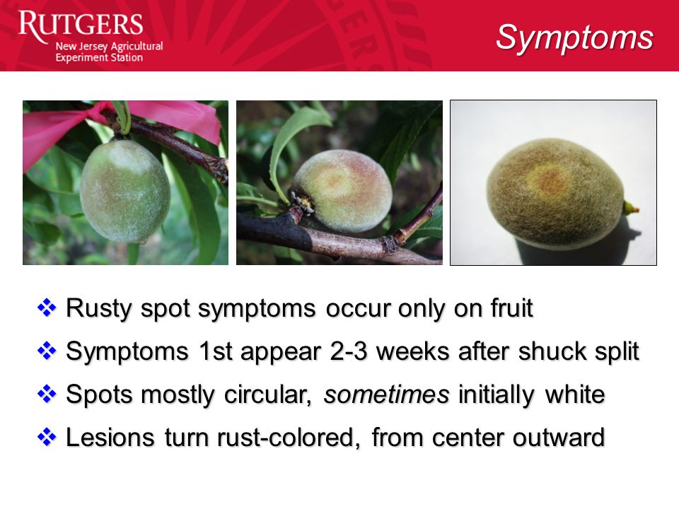  Rusty spot symptoms occur only on fruit  Symptoms 1st appear 2-3 weeks after shuck split  Spots mostly circular, sometimes initially white  Lesions turn rust-colored, from center outward Symptoms