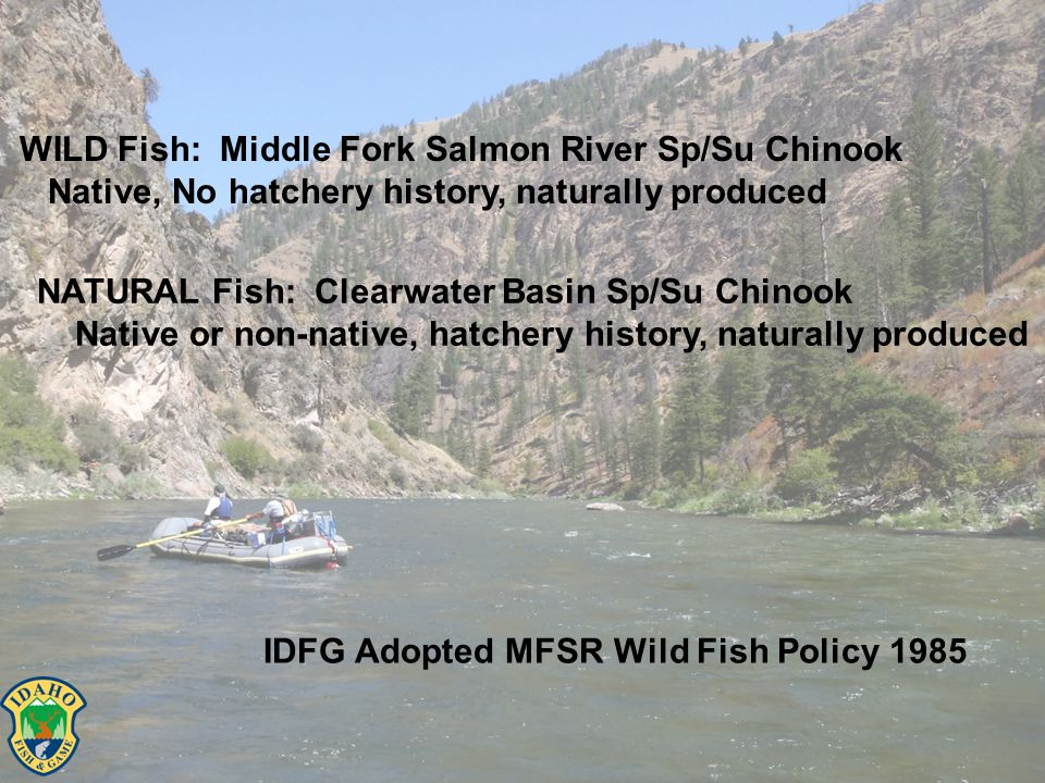 WILD Fish: Middle Fork Salmon River Sp/Su Chinook Native, No hatchery history, naturally produced NATURAL Fish: Clearwater Basin Sp/Su Chinook Native or non-native, hatchery history, naturally produced IDFG Adopted MFSR Wild Fish Policy 1985