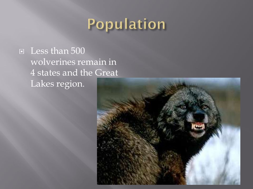  Less than 500 wolverines remain in 4 states and the Great Lakes region.