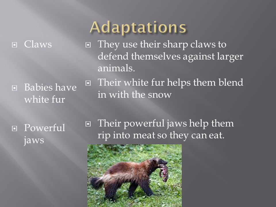  Claws  Babies have white fur  Powerful jaws  They use their sharp claws to defend themselves against larger animals.