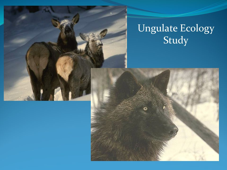 Ungulate Ecology Study