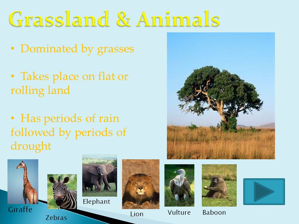 Giraffe Zebras Lion Elephant VultureBaboon Dominated by grasses Takes place on flat or rolling land Has periods of rain followed by periods of drought