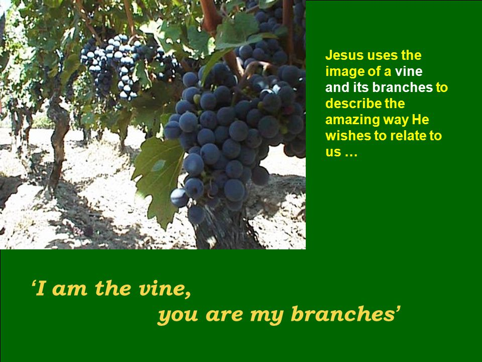 ' I am the vine, you are my branches ' Jesus uses the image of a vine and its branches to describe the amazing way He wishes to relate to us …