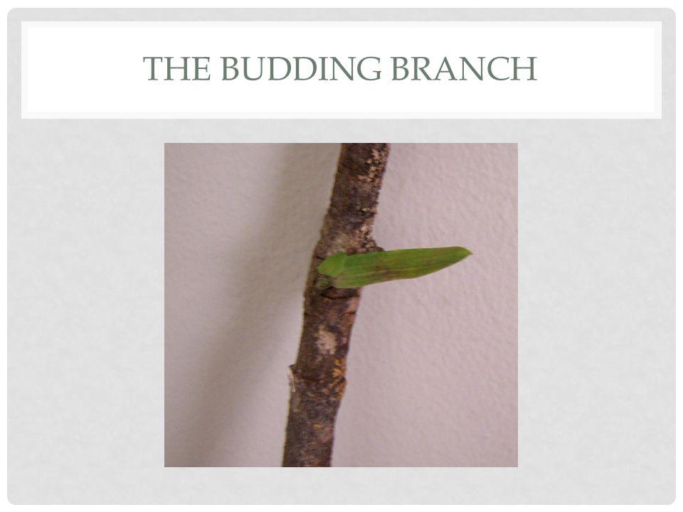 THE BUDDING BRANCH