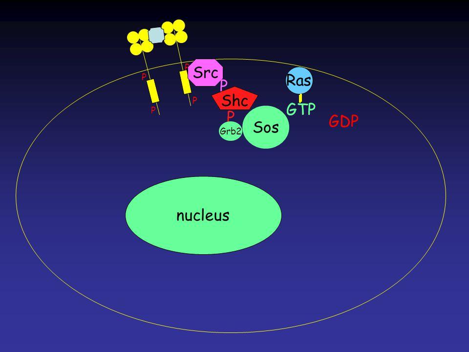 Ras GDP GTP Ras GTP P P P P Ras nucleus Src P Shc P Grb2 Sos