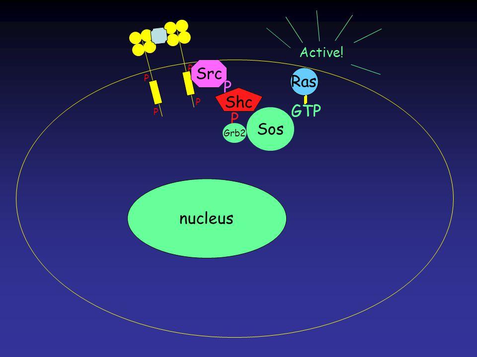 Ras GTP Ras GTP P P P P Ras nucleus Src P Shc P Grb2 Sos Active!