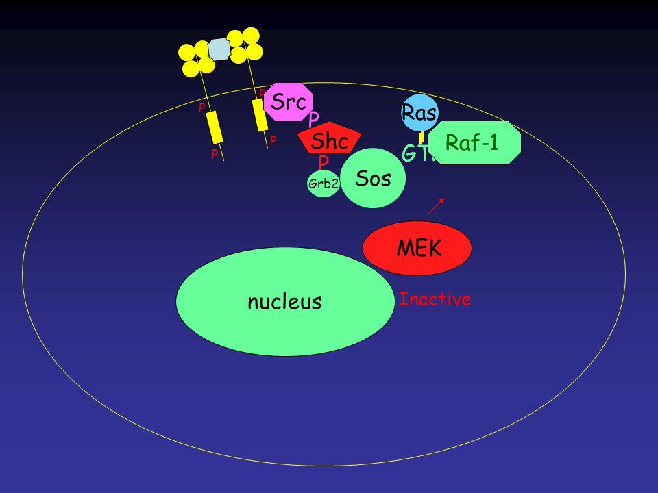 MEK Inactive Ras GTP Ras GTP P P P P Ras nucleus Src P Shc P Grb2 Sos Raf-1