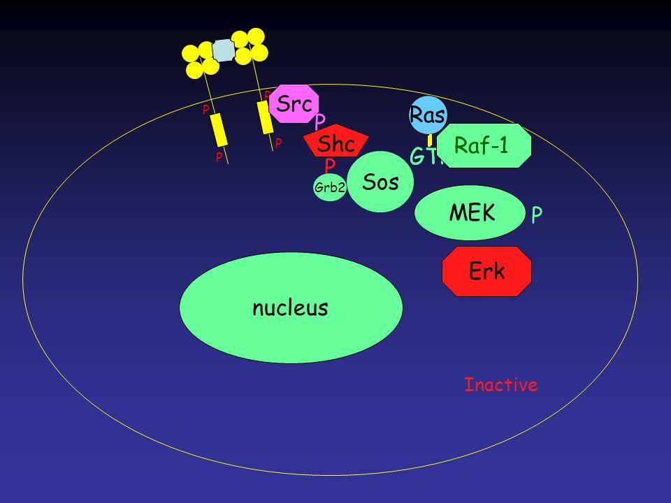 Erk MEK Ras GTP Ras GTP P P P P Ras nucleus Src P Shc P Grb2 Sos Raf-1 P Inactive