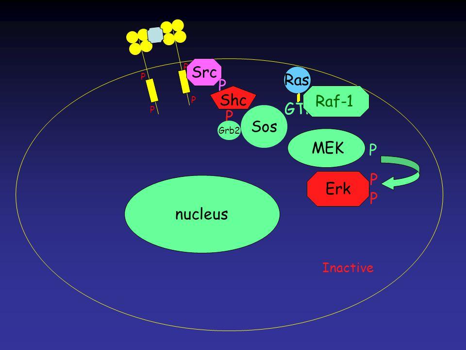 Erk MEK Ras GTP Ras GTP P P P P Ras nucleus Src P Shc P Grb2 Sos Raf-1 P Inactive PPPP