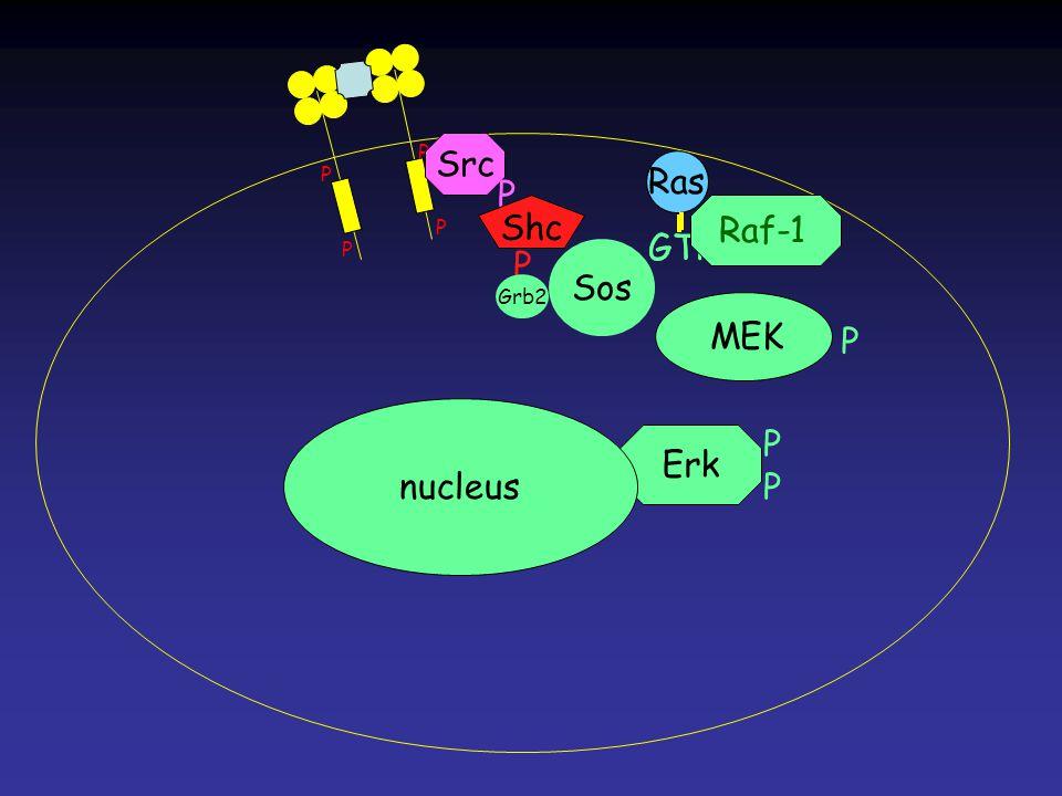 PPPP MEK Ras GTP Ras GTP P P P P Ras nucleus Src P Shc P Grb2 Sos Raf-1 P
