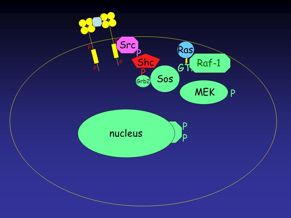 Erk PPPP MEK Ras GTP Ras GTP P P P P Ras nucleus Src P Shc P Grb2 Sos Raf-1 P