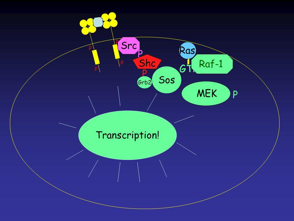 Erk PPPP MEK Ras GTP Ras GTP P P P P Ras Src P Shc P Grb2 Sos Raf-1 P Transcription!