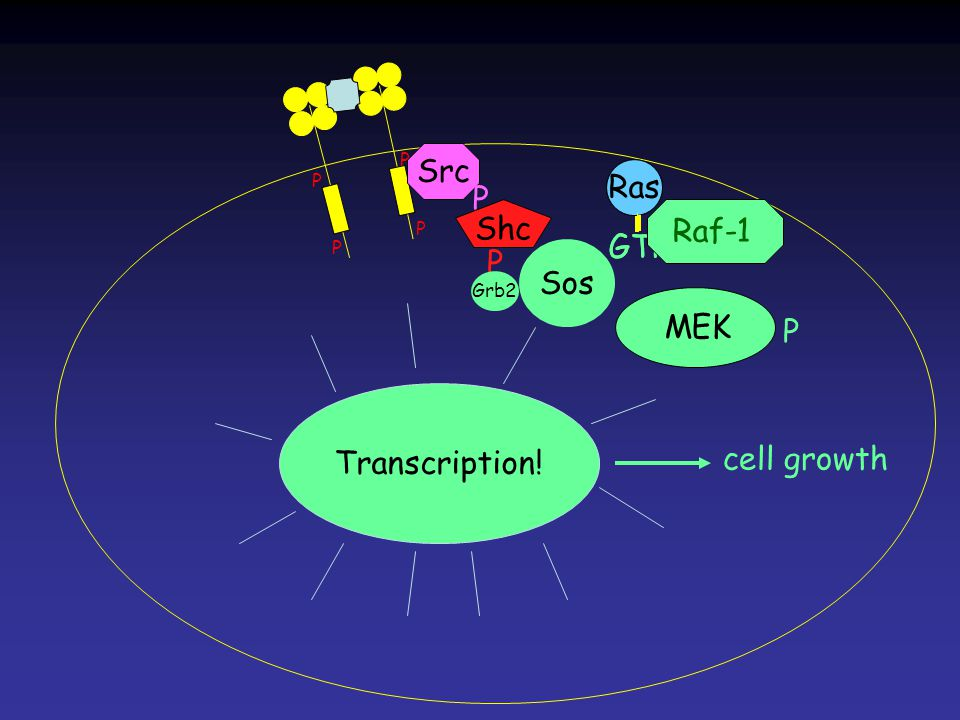 Erk PPPP MEK Ras GTP Ras GTP P P P P Ras Src P Shc P Grb2 Sos Raf-1 P Transcription! cell growth