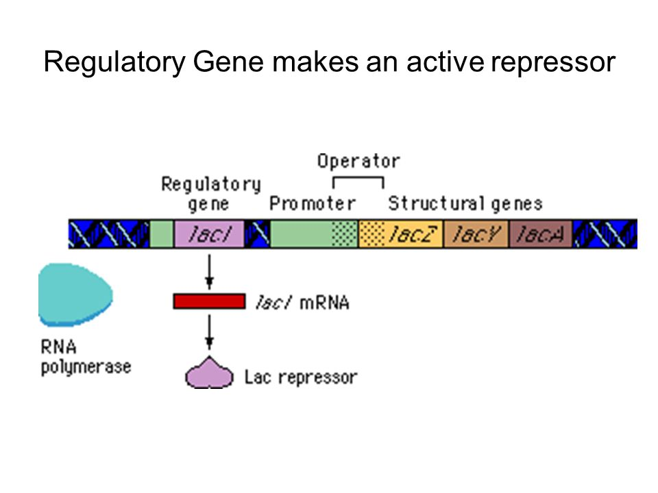 Regulatory Gene makes an active repressor