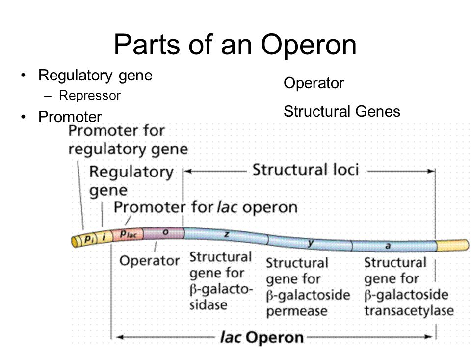 Parts of an Operon Regulatory gene –Repressor Promoter Operator Structural Genes