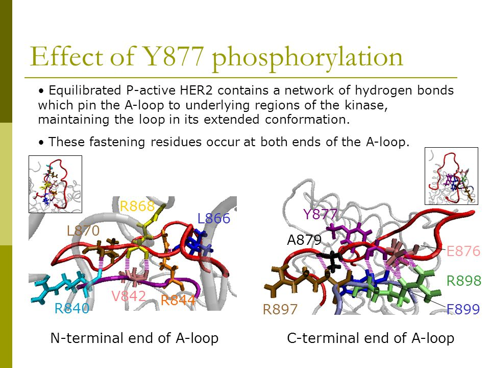 Effect of Y877 phosphorylation N-terminal end of A-loopC-terminal end of A-loop Equilibrated P-active HER2 contains a network of hydrogen bonds which pin the A-loop to underlying regions of the kinase, maintaining the loop in its extended conformation.